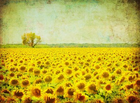 vintage image of sunflower field photo