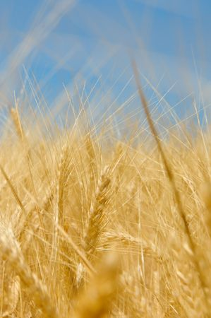 Wheat field Stock Photo - 5455306