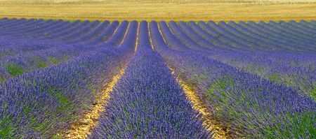 lavendin: Lavender field, Provence, France Stock Photo