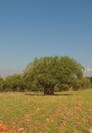 Old olive tree Stock Photo - 6719378