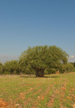 Old olive tree Stock Photo - 6719378