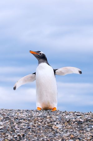 gentoo: pinguino  Archivio Fotografico