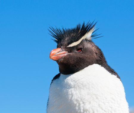 webbed: rockhopper penguin