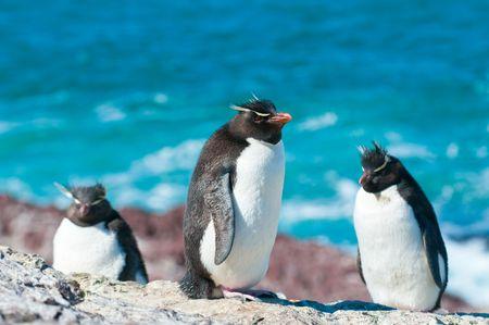 awkward: rockhopper penguins
