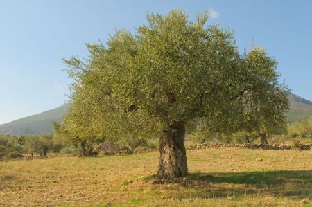 olive leaves: Old olive tree