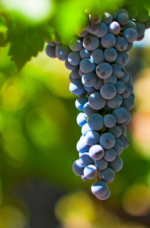 grape bunch, very shallow focus photo