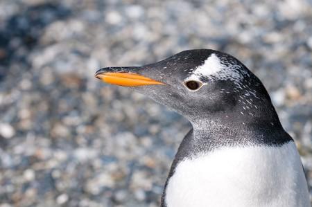 gentoo: pinguino