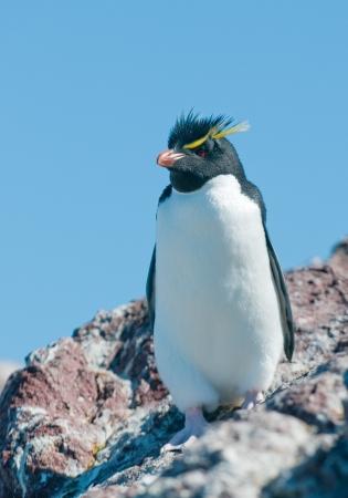 rockhopper penguin photo