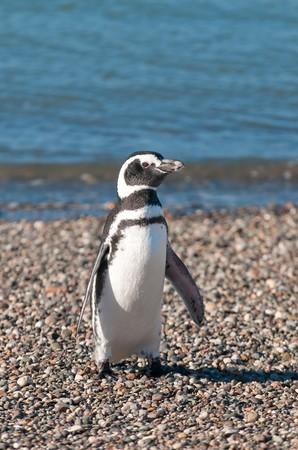 tailcoat: magellanic penguin