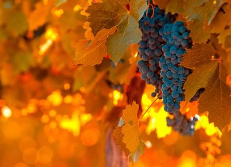 vi�edo: racimo de uva, foco muy superficial  Foto de archivo