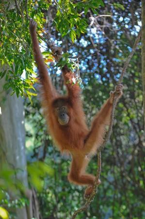orang: sumatran orangutan Stock Photo