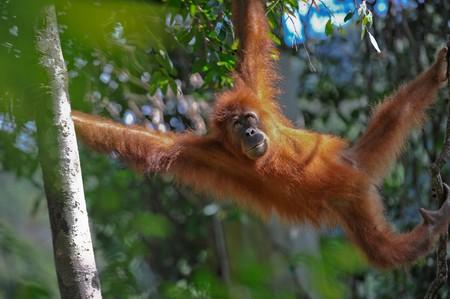 sumatran: sumatran orangutan Stock Photo