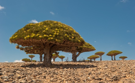 distinctive: Dragon trees at Dixam plateau, Socotra Island, Yemen