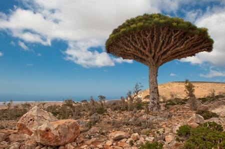 plateau: Dragon trees at Dixam plateau, Socotra, Yemen Stock Photo