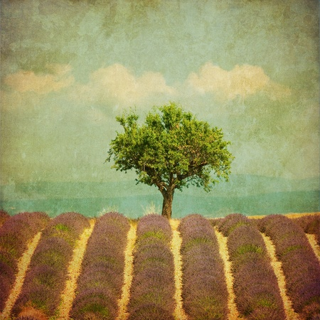 the luberon: vintage image of a tree in lavender field