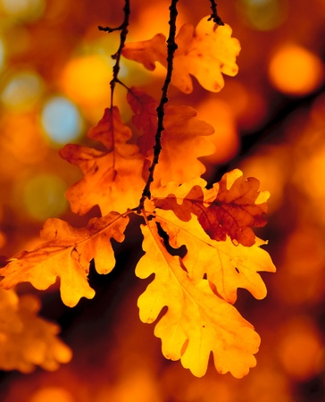 oak leaves: autumn leaves, very shallow focus Stock Photo