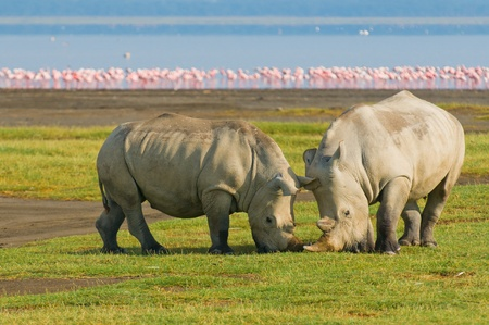 rinoceronti nel parco nazionale del lago nakuru, kenya
