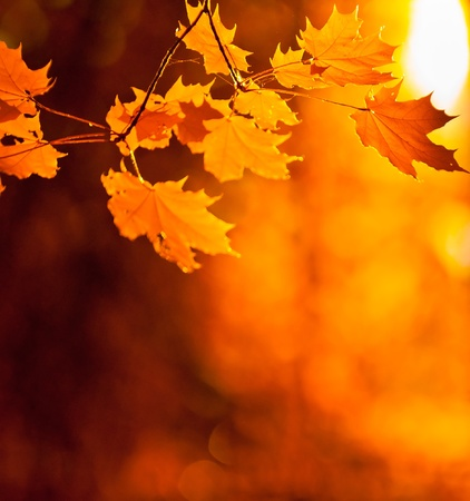 maple: autumn leaves, very shallow focus Stock Photo