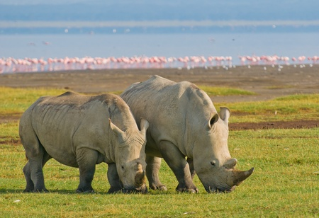 rhinos in lake nakuru national park, kenya photo