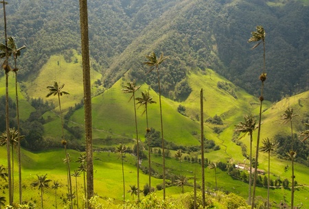 marvellous: Vax palm trees of Cocora Valley, Colombia Stock Photo