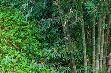 bamboo tree: bamboo trees Stock Photo