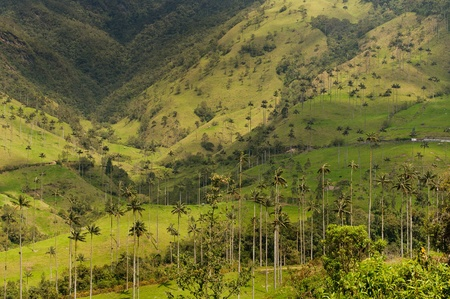 marvellous: Wax palm trees of Cocora Valley, Colombia Stock Photo