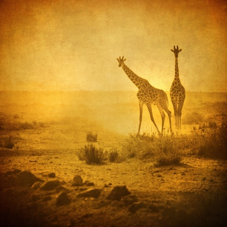 vintage image of giraffes in amboseli national park, kenya photo