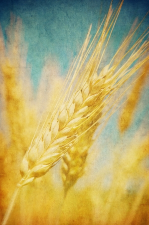 reaping: Grunge image of wheat field