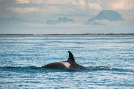 ballena azul: ballena orca Foto de archivo