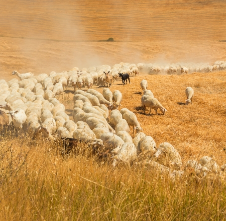 in herding: Herd of sheep in a field of Tuscany
