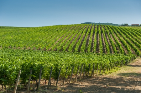orcia: Vineyard in Orcia Valley, Tuscany