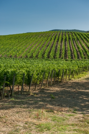 Vineyard in Orcia Valley, Tuscany photo