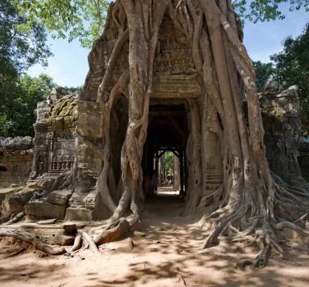 banyan: Ta Som Temple, Angkor, Cambodia