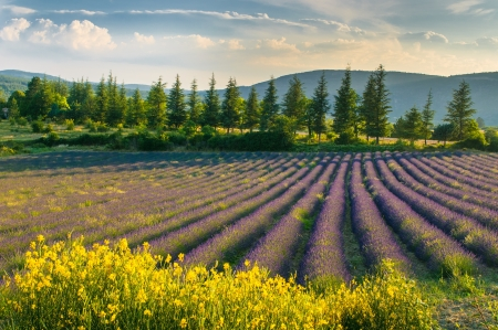 provence: Lavender field, Provence, France Stock Photo