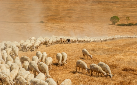 Herd of sheep in a field of Tuscany photo