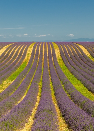 lavendin: Lavender field, Provence, France Stock Photo