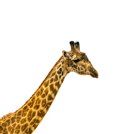 giraffe white background: cabeza de jirafa sobre fondo blanco