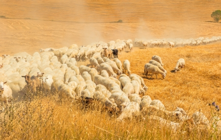 flock of sheep: Herd of sheep in a field of Tuscany