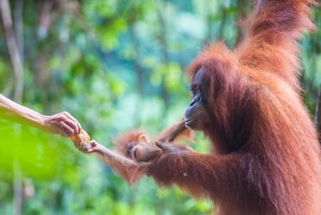 utang: Mother and baby orangutan feeding, Bukit Lawang, Sumatra, Indonesia