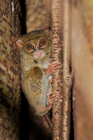 primate: Tarsier, the smallest primate, Tangkoko, Sulawesi, Indonesia