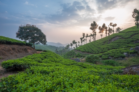 munnar: Tea plantations in Munnar, Kerala, India Stock Photo