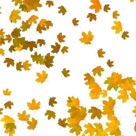 yellow maple leaves over white background photo