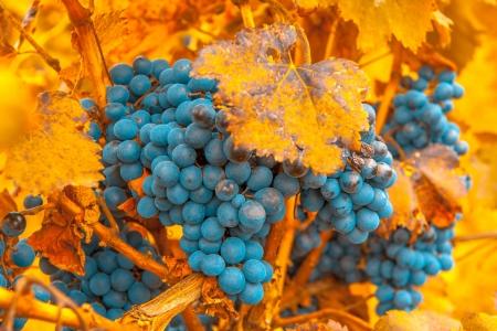 merlot: grape bunch, very shallow focus