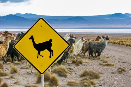 llama: Lama crossing traffic sign, Altiplano, Bolivia