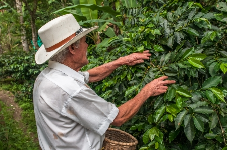 28: SALENTO, ZONA CAFETERIA, COLOMBIA - November, 28: Old farmer harvesting coffee beans on November, 28, 2009 in Salento, Zona Cafeteria, Colombia