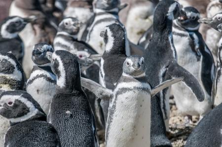 tailcoat: magellanic penguins