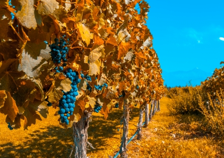Vineyards of Mendoza, Argentina photo