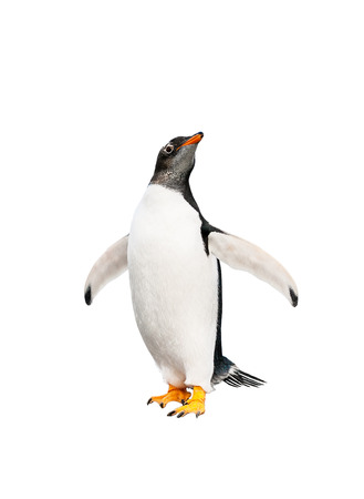 flightless bird: gentoo penguin over white background