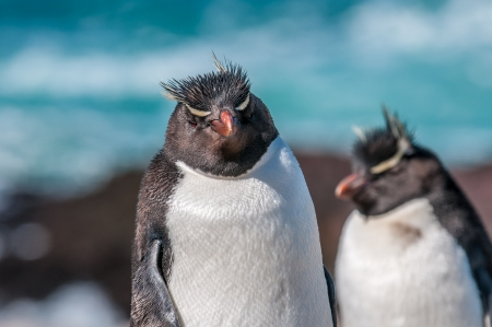 rockhopper penguins photo