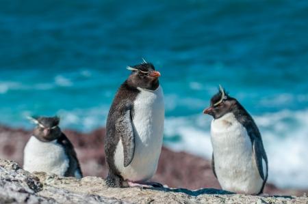 penguin colony: rockhopper penguins